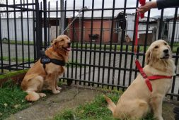 cachorros-golden-retriever-ix-region-230-000