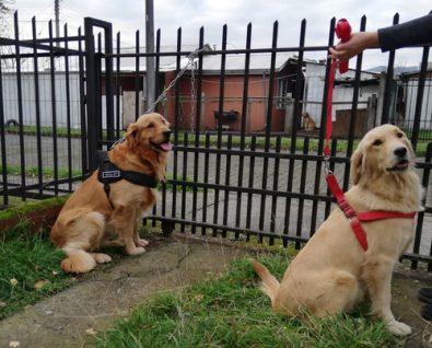 cachorros-golden-retriever-ix-region-230-000