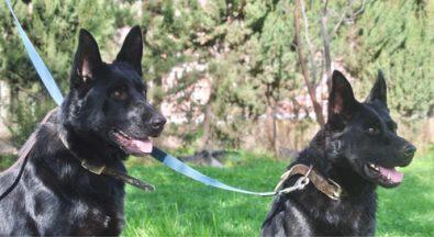 cachorros-pastor-aleman-linea-de-trabajo-100-ddr-checo-270-000