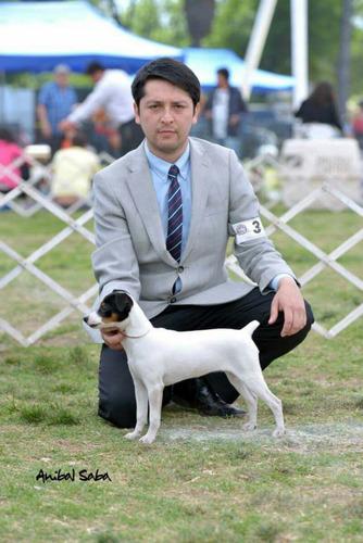cachorros-fox-terrier-390-000