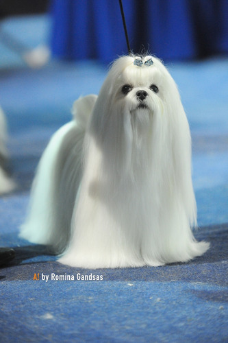 maltes-bichon-maltes-cachorros-950-000