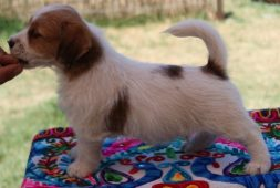jack-russell-cachorros-1-200-000