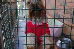 yorkshire-terrier-perro-cachorro-diamond-blue-inscrito-350-000