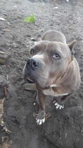 cachorros-pitbull-american-blue-400-000