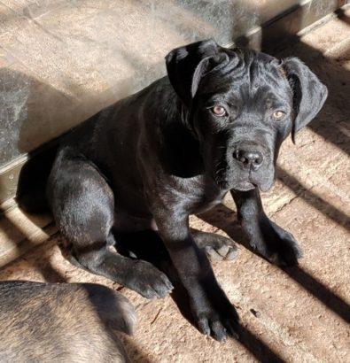 cachorros-cane-corso-inscritos-negros-600-000