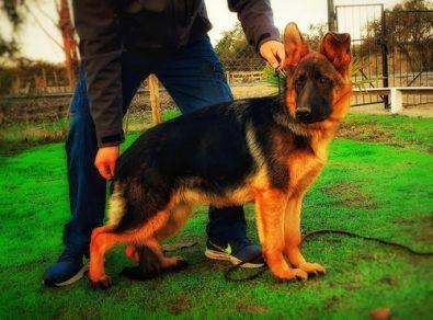 cachorra-pastor-aleman-inscrita-450-000