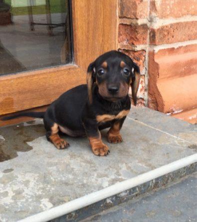 preciosos-salchichas-muy-miniatura-dachshund-310-000