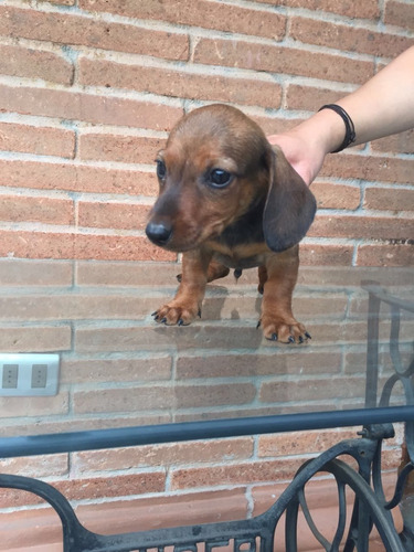 cachorros-salchicha-miniatura-dachshund-310-000