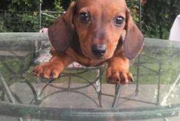 salchichas-dachshund-muy-mini-310-000