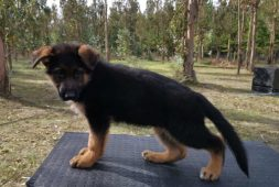 hermosos-cachorros-ovejero-aleman-inscritos-chip-de-ident-450-000