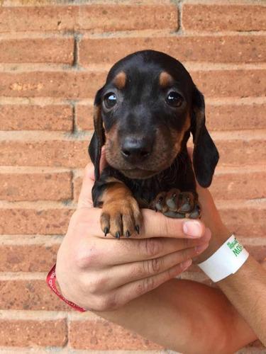 cachorros-salchicha-dachshund-muy-miniatura-310-000