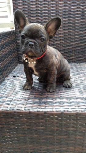 bulldog-frances-hembras-inscritas-850-000