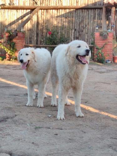 cachorros-de-kuvasz-450-000