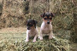 foxterrier-cachorros-miniatura-finisimos-120-000