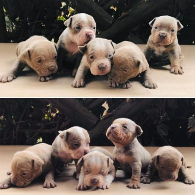 cachorros-american-bully-tricolores-1-350-000