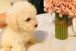 poodle-toy-300-000