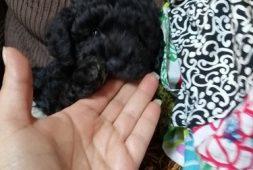 poodles-toy-machito-320-000