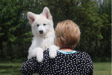 cachorro-pastor-blanco-suizo-camada-2020-850-000
