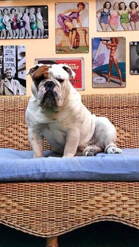 bulldog-ingles-inscrito-kcc-busca-novia-300-000