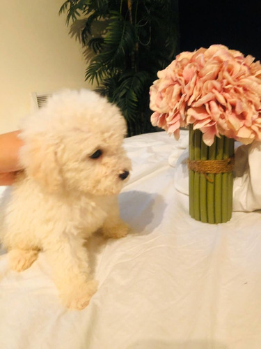 poodle-toy-350-000