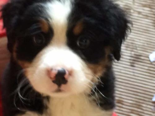 boyeros-de-berna-cachorros-entrega-febrero-padres-a-la-vista-650-000