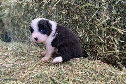 border-collie-cachorros-finisimos-inscritos-770-000