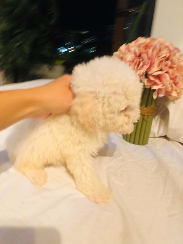 poodle-toy-450-000
