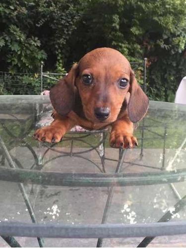 salchichas-dachshund-muy-mini-400-000