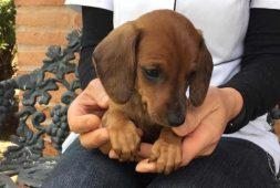 perritos-salchichas-dachshund-mini-400-000