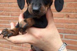 cachorros-salchicha-miniatura-dachshund-400-000