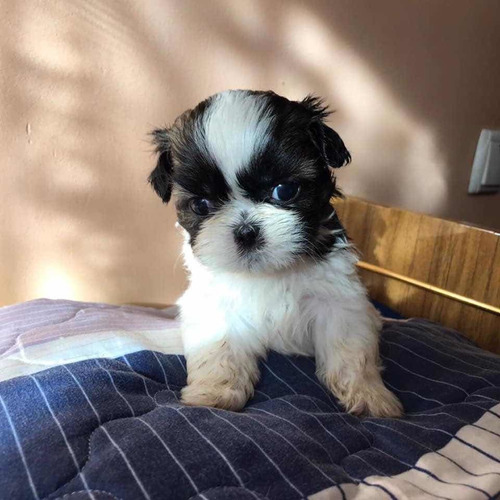 shih-tzu-machos-inscritos-en-el-kcc-gran-pedigree-1-000-000