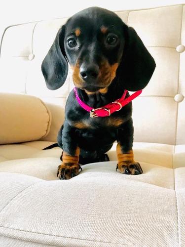 preciosos-salchicha-mini-dachshund-400-000