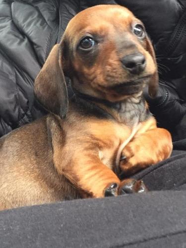 lindos-perritos-salchicha-dachshund-mini-400-000