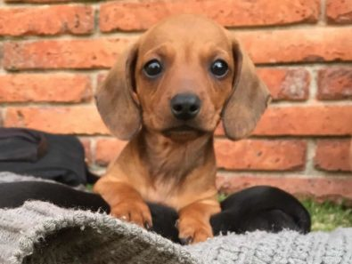 lindos-perritos-salchicha-dachshund-miniatura-400-000
