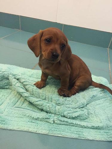 preciosos-salchicha-miniatura-dachshund-400-000