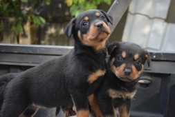 cachorros-rottweilers-2-meses-certificacion-veterinaria-400-000