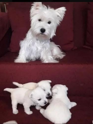 cachorros-west-highland-terrier-inscritos-en-kennel-club-ch-1-200-000