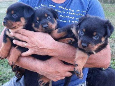 cachorros-rotwalier-maravillosos-550-000