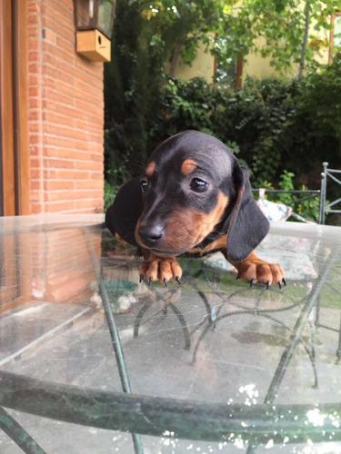 hermosos-cachorros-salchichas-mini-400-000