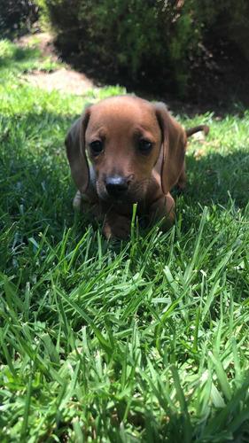 cachorros-salchicha-miniatura-pelo-corto-400-000