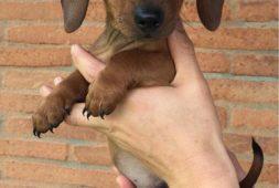 maravillosos-salchichas-mini-dachshund-400-000