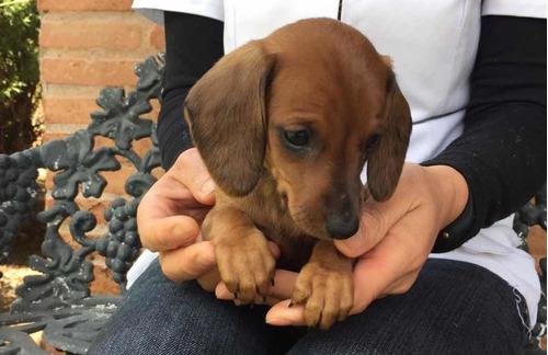 perritos-salchichas-dachshund-mini-400-000-2