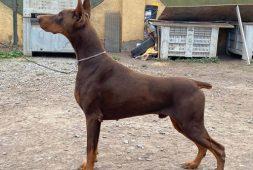 cachorros-doberman-inscritos-calidad-show-700