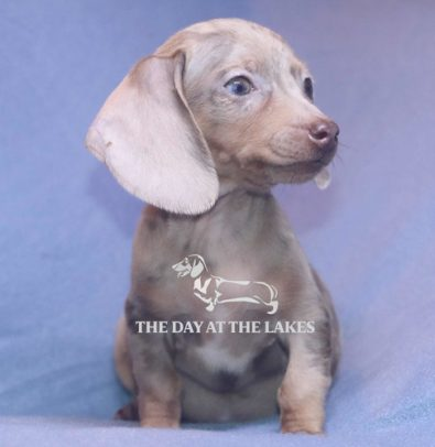 dachshund-teckel-o-salchicha-exoticos-1-500-000