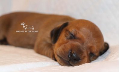 dachshund-solo-caramelo-disponible-450-000