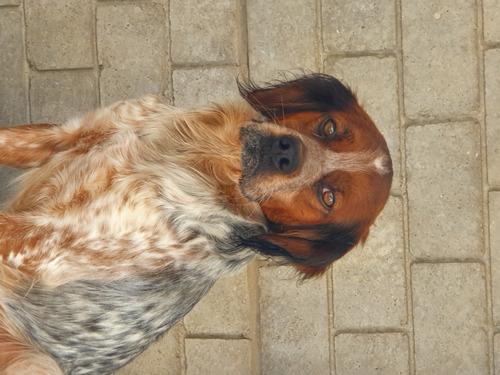 cachorros-bretones-inscritos-400-000