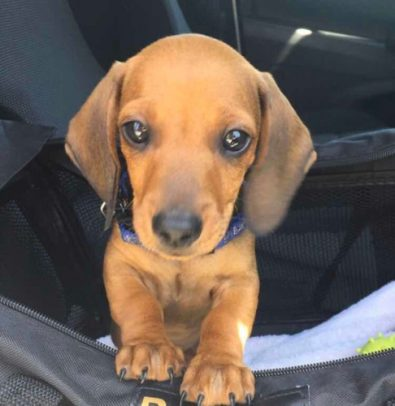 salchichas-dachshund-miniatura-cachorros-400-000