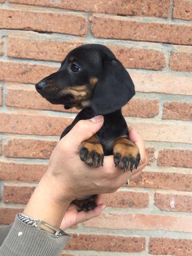 preciosos-cachorros-salchichas-dachshund-mini-400-000