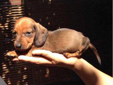 preciosos-cachorros-dachshund-salchicha-miniatura-400-000
