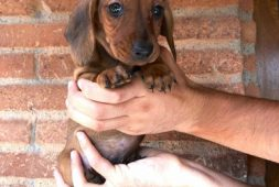 hermosos-dachshund-salchicha-miniatura-400-000